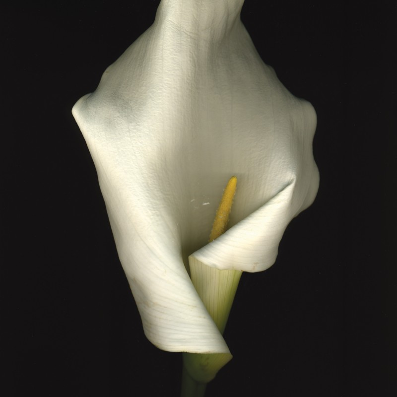 Artwork 11.01.09 Calla Lilly from Silent Witness Series