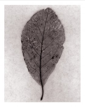 Souls Series, Leaf Lace